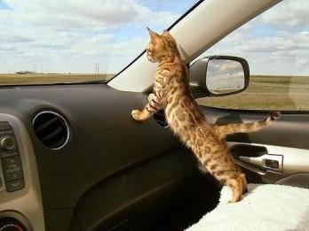 gato-coche-pintas